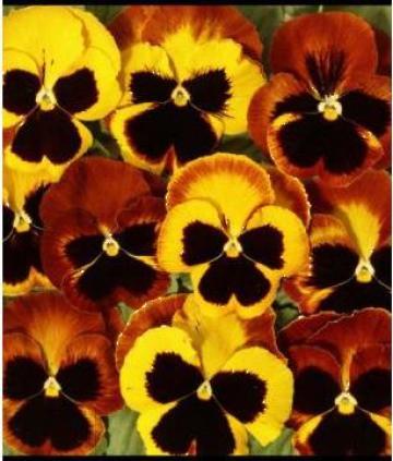 Seminte de flori