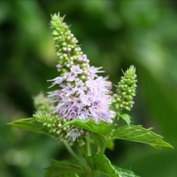 Plan de afaceri culturi de plante medicinale si aromatice