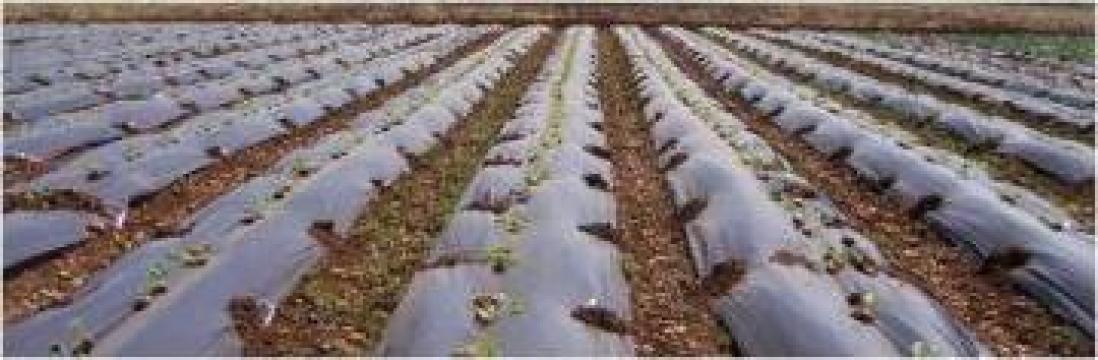 Folie alba transparenta de mulcire pentru pepeni de la Marcoser