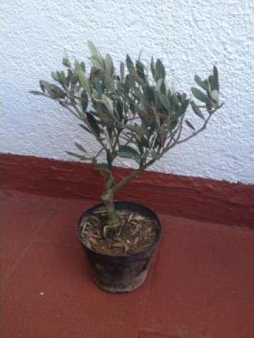 Arbore ghiveci Pre-bonsai maslin
