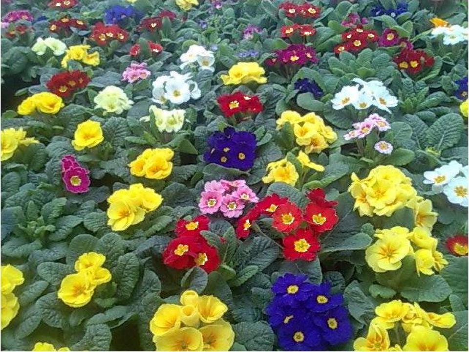 Flori 1, 8 Martie
